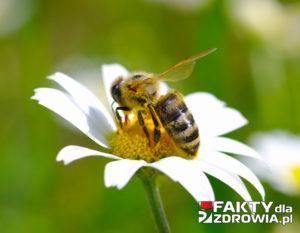 pszczolka-faktydlazdrowia-pl