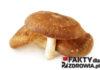 shiitake-faktydlazdrowia-pl